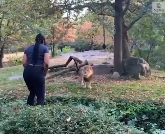 A woman climbed the walls and jumped into the lion's den at Bronx zoo