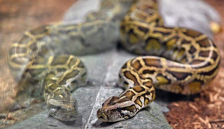 Woman strangled to death by an 8-foot reticulated python in Indiana