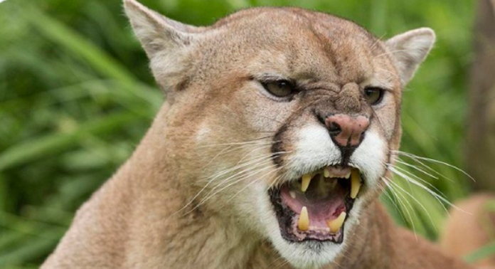 6-year old girl attacked by a mountain lion in California